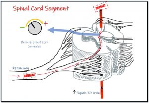 Spinal cord signal
